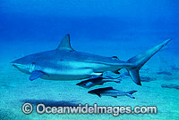 Dusky Shark and Remora Suckerfish