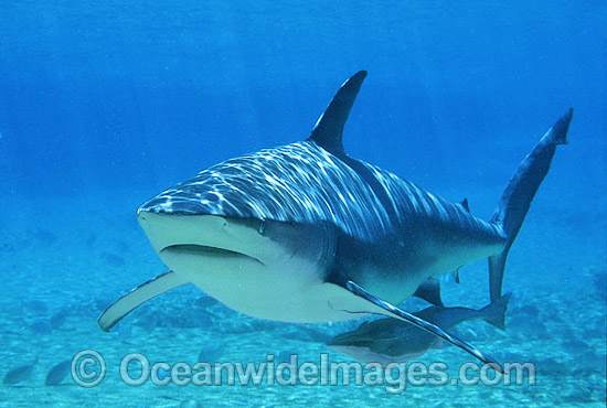 Dusky Shark (Carcharhinus obscurus) - with Remora Suckerfish. Also known as Black Whaler and Bronze Whaler. Found throughout Australia in tropical and warm temperate seas.