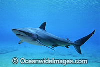 Dusky Shark or Bronze Whaler Photo - Gary Bell