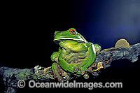White-lipped Tree Frog Litoria infrafrenata Photo - Gary Bell