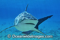 Dusky Shark Photo - Gary Bell
