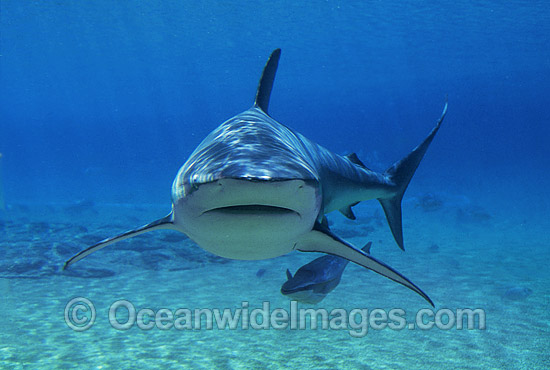 Dusky Shark with Remora suckerfish photo