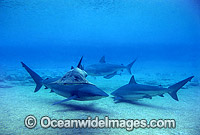 Dusky Sharks and Eastern Shovelnose Ray Photo - Gary Bell