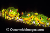 Courting Red-eyed Tree Frogs Litoria chloris Photo - Gary Bell