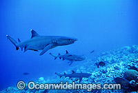 Whitetip Reef Sharks Triaenodon obesus Photo - Gary Bell