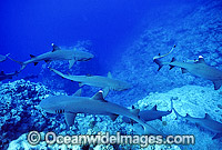 Whitetip Reef Sharks Photo - Gary Bell