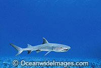 Whitetip Reef Shark Photo - Gary Bell