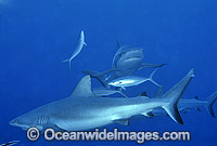 Gray Reef Shark Carcharhinus amblyrhynchos Photo - Gary Bell