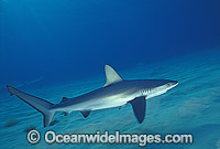 Galapagos Shark Carcharhinus galapagensis photo