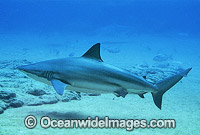 Bronze Whaler Shark Carcharhinus brachyurus photo