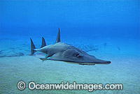 Giant Guitarfish Rhynchobatus djiddensis photo