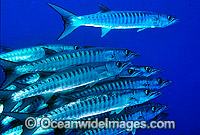 Schooling Chevron Barracuda photo