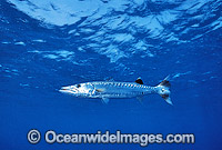 Great Barracuda Sphyraena barracuda Photo - Gary Bell