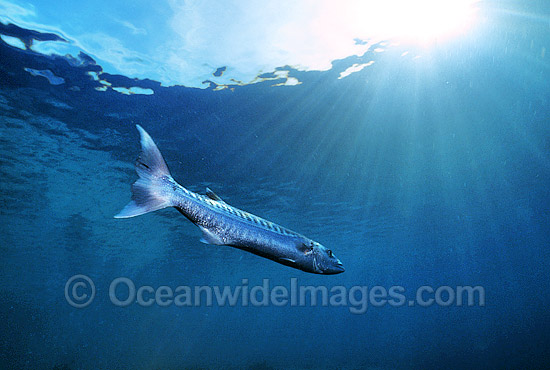 Great Barracuda (Sphyraena barracuda). Great Barrier Reef, Queensland, Australia. Potentially dangerous.