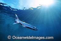 Great Barracuda Sphyraena barracuda photo