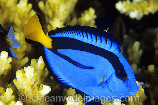 Blue Tang (Paracanthurus hepatus). Also known as Blue Surgeonfish. Great Barrier Reef, Queensland, Australia