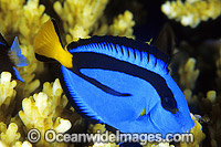 Blue Tang Paracanthurus hepatus photo
