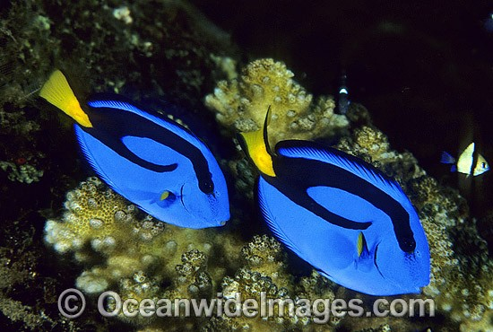 Blue Tangs (Paracanthurus hepatus). Also known as Blue Surgeonfish. Great Barrier Reef, Queensland, Australia