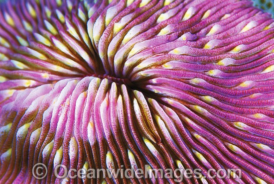 Mushroom Coral (Fungia sp.) detail. Great Barrier Reef, Queensland, Australia - Gary Bell