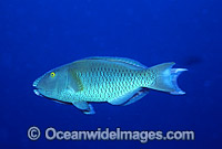 Parrotfish male courting female photo