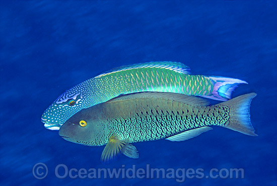 Red-speckled Parrotfish (Cetoscarus bicolor) - male courting female. Also known as Two-colour Parrotfish. Great Barrier Reef, Queensland, Australia
