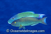 Red-speckled Parrotfish male courting female photo