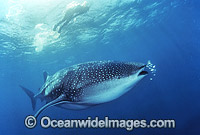 Snorkel diver and Whale Shark Photo - Gary Bell