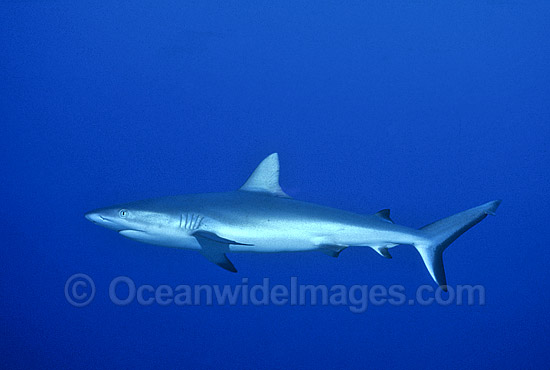 Gray Reef Shark (Carcharhinus amblyrhynchos). Also known as Grey Reef Shark, Black-vee Whaler and Longnose Blacktail Shark. Great Barrier Reef, Queensland, Australia. Found throughout tropical Indo-West and Central Pacific. Photo - Gary Bell