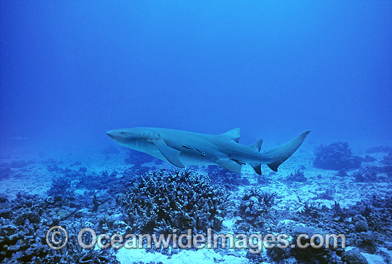 Tawny Shark Nebrius ferrugineus photo