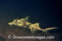 Elephant Shark Callorhinchus milii Photo - Gary Bell