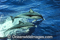 Short-beaked Common Dolphins Photo - Gary Bell