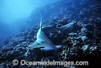 Great Hammerhead Shark Sphyrna mokarran photo