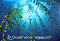Scuba Diver and Giant Kelp forest Photo - Gary Bell
