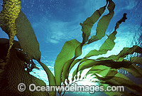 Giant Kelp Gas filled floats Photo - Gary Bell