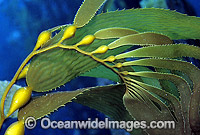 Giant Kelp Macrocystis pyrifera Photo - Gary Bell