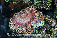 Crown-of-thorns Starfish feeding Photo - Gary Bell