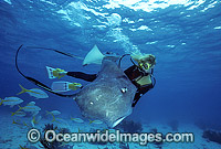 Scuba Diver Southern Stingray photo