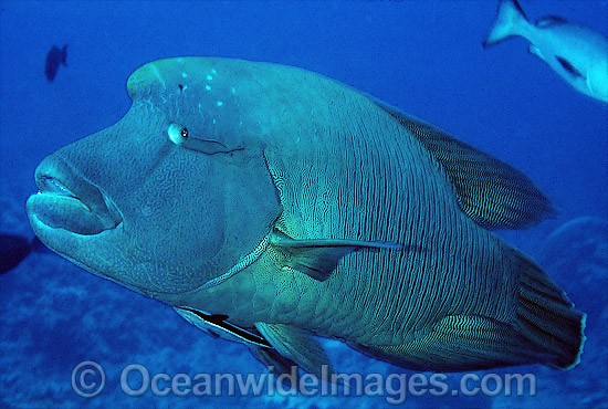 Napolean Wrasse (Cheilinus undulatus) with Remora Suckerfish (Remora remora) attached. Also known as Humphead Maori Wrasse, Giant Wrasse, Double-headed Maori Wrasse. Great Barrier Reef, Queensland, Australia. Classified Endangered IUCN Red List.