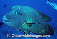 Napolean Wrasse Remora Suckerfish