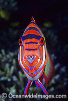 Harlequin Tuskfish photo
