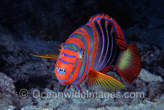 Harlequin Tuskfish (Choerodon fasciatus). Great Barrier Reef, Queensland, Australia Photo - Gary Bell