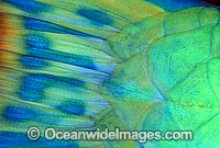 Bridled Parrotfish eye Scarus frentaus photo