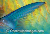 Parrotfish pectoral fin scale Scarus frentaus photo