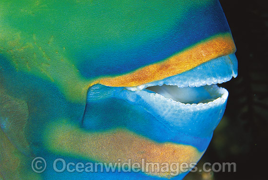 Bridled Parrotfish (Scarus frentaus) - mouth detail showing fused teeth. Night colour. Indo-Pacific
