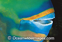 Parrotfish mouth showing fused teeth photo