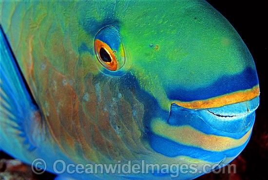 Bridled Parrotfish (Scarus frenatus) showing detail of mouth and eye. Night colour. Indo-Pacific