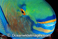 Bridled Parrotfish Night colour Scarus frentaus photo