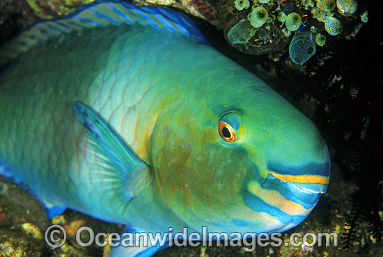 Bridled Parrotfish (Scarus frentaus) showing detail of mouth and eye. Night colour. Indo-Pacific