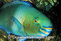 Bridled Parrotfish Scarus frentaus photo