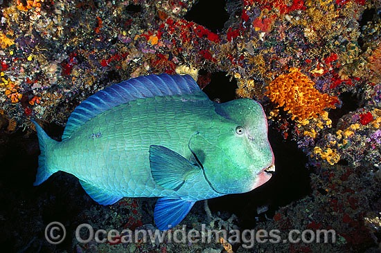 Humphead Parrotfish (Bolbometopon muricatum). Also known as Double-headed Parrotfish. Great Barrier Reef, Queensland, Australia Photo - Gary Bell